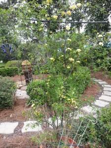 Lady Banksia climbing roses