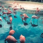 Pink flamingos standing in blue water