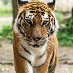 Tiger walking toward you