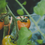 Red tomatoes on green vine