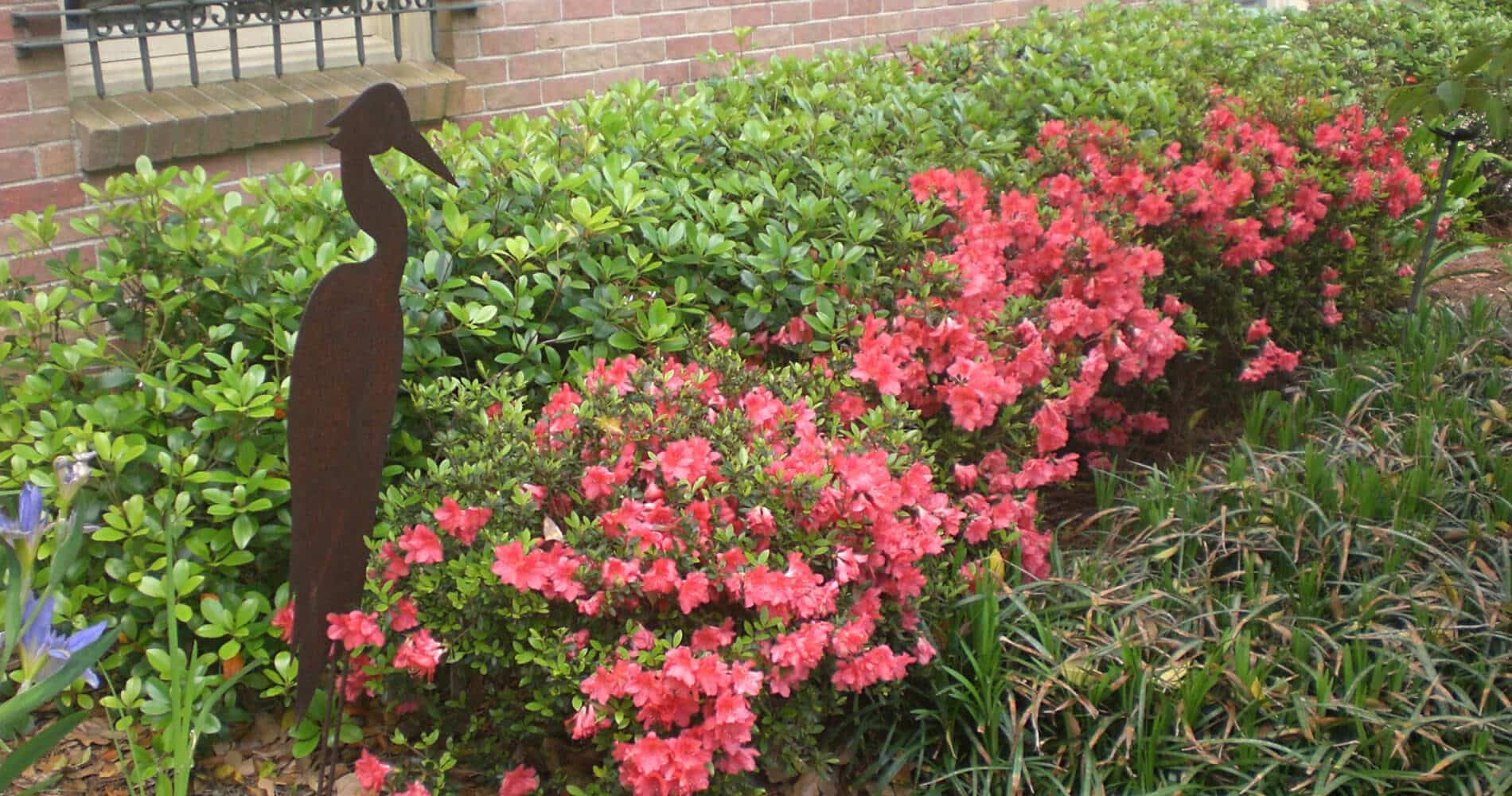 Pink Azaleas and green hedges along brick wall with iron pelican in flower bed