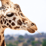 Giraffe with dark brown spots chewing a piece of grass
